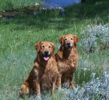 Hunter's Goldstrike Golden Retrievers
